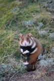 Wild hamster Royalty Free Stock Image