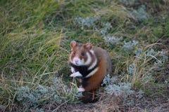 Wild hamster Royalty Free Stock Photos