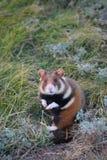 Wild hamster Stock Photo