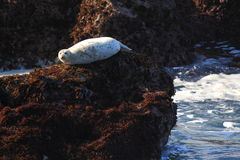 Harbor Seal Royalty Free Stock Photo