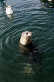 Wild harbour seal Stock Images
