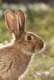 Wild hare. Big ears of vigilant wild rabbit, brown hare on meadow Royalty Free Stock Photo