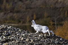 Wild hare Royalty Free Stock Images