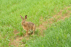 Wild hare Stock Image