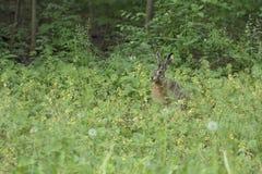 wild hare Royaltyfri Bild
