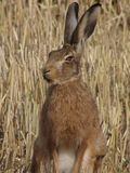 wild hare royaltyfri fotografi