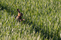 Wild hare close up in crop track Royalty Free Stock Image