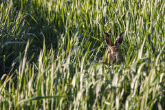Wild hare in crops looking at camera Royalty Free Stock Photos