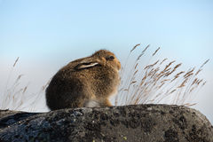 wild hare Den alpina hare-/LepusTimidus närbilden i sommar Pelage sitter på stenarna under solljuset mot bakgrunden av S Royaltyfri Foto