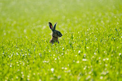 Wild hare in the field Stock Photo