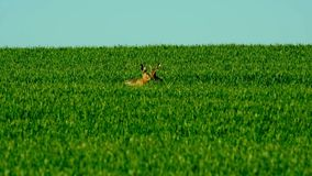 Wild hare in the field stock video
