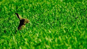 Wild hare in the field stock footage