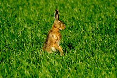 Wild hare in the field Royalty Free Stock Images