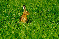 Wild hare in the field Royalty Free Stock Image
