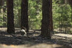 Wild Hare in Forest. Wild gray hare sits under the pine in a forest Royalty Free Stock Images