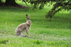 Wild hare on grass in the forest Stock Images