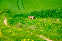 Wild hare in a green field Royalty Free Stock Image