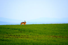 Wild hare in a green field Royalty Free Stock Photo