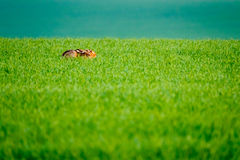 Wild hare in a green field Stock Photo