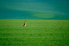Wild hare in a green field Stock Images