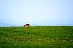 Wild hare in a green field. Wild hare in the green field Royalty Free Stock Photo