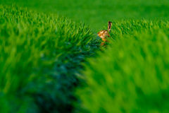 Wild hare in a green field Stock Image