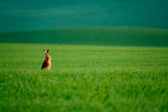 Wild hare in a green field Royalty Free Stock Photos