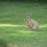 Wild hare on green grass Stock Images