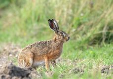 Wild hare. Hairy wild hare in nature Royalty Free Stock Image
