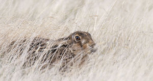 Wild Hare Hiding in Long Grass. Genus Lepus Stock Photos
