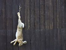 Wild hare after hunting. Hanging Royalty Free Stock Photos