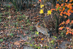 Wild hare jumping in the forest. Wild hare jumping in the autumn forest Stock Image