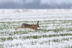 Wild hare is jumping on meadow. In winter Stock Photo