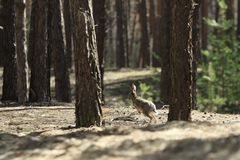 Wild Hare Jumps. Wild gray hare jumps in a coniferous forest Royalty Free Stock Photo