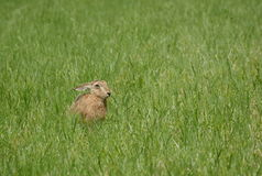 Wild hare on the meadow Stock Photography