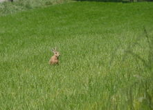 Wild hare on the meadow Stock Images