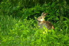 Wild hare in the nature Stock Photo