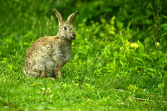 Wild hare in the nature Stock Images