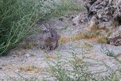 Wild hare near bush Royalty Free Stock Photography