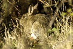 Wild hare  in the park - Bedfont Lakes Country Park Stock Image
