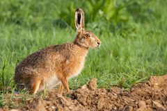 Wild hare portrait in Norfolk UK Royalty Free Stock Image
