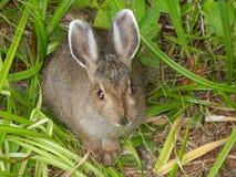 Wild Hare Stock Photo