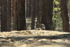 Wild Hare Runs Away in Forest. Wild hare runs away scared in the forest Stock Photography