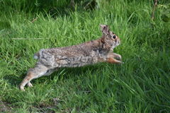 Wild Hare. A wild hare runs in the grass Royalty Free Stock Photo
