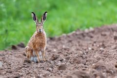 Wild hare sat staring at camera Stock Images