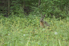 Wild Hare. Sit in the grass at the wood and he is ready to escape Royalty Free Stock Image
