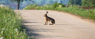 Wild hare sits on a street. And catches sun Stock Image