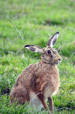 A wild hare sitting in a field , one ear back. A wild hare sits alert in the field , one ear back , looking at the viewer Stock Images