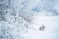 Wild hare sitting in snow Lepus europaeus stock photography