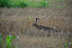 Wild brown hare sniffing stock image